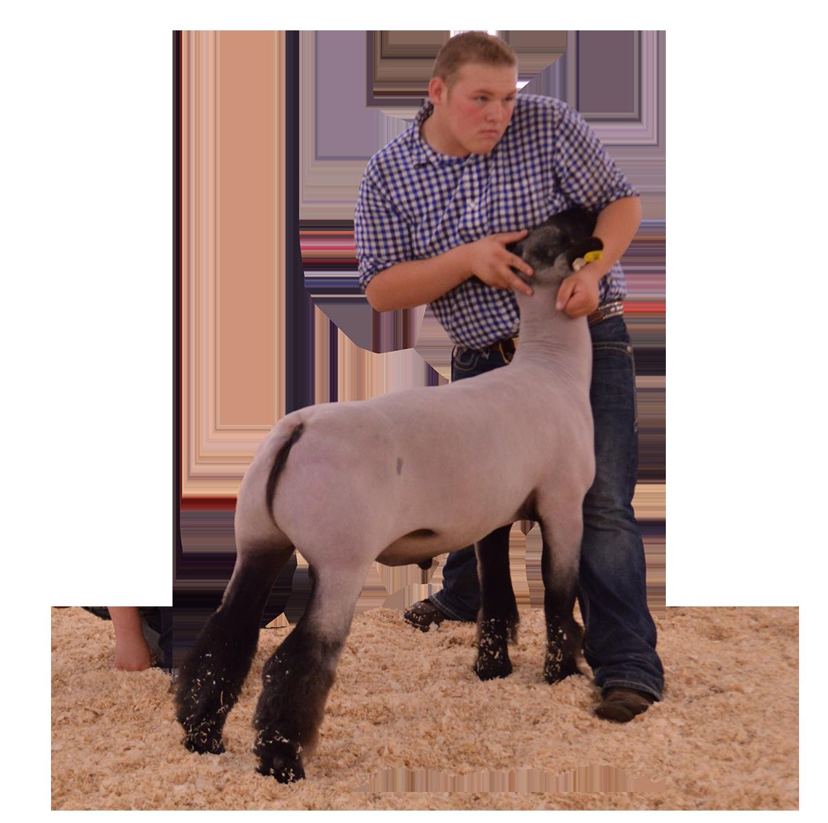 Show Lamb