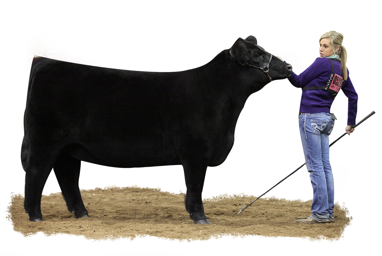 Show Cattle Sure Champ