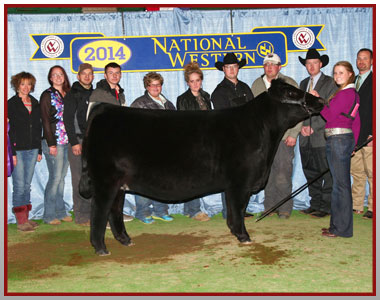 14-champion-simmental-female-national-western-stock-show-jr-and-open-show-vickland-family[8]