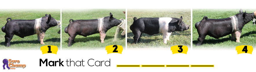 hampshire boars judging class header image