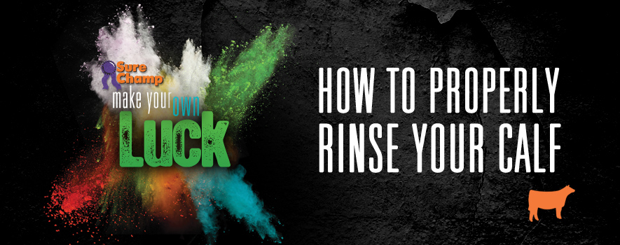 How to Rinse Your Show Calf