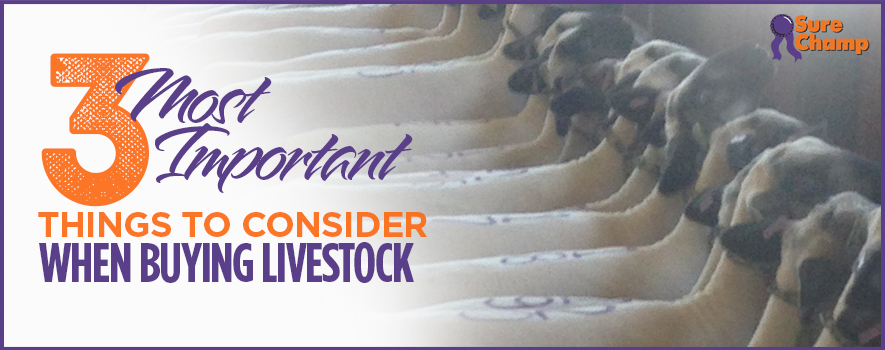 Sure Champ: 3 Most Important Things When Buying Livestock