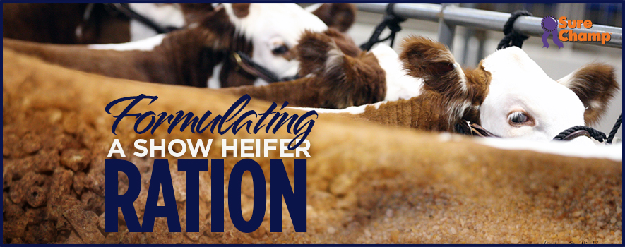 How to Formulate a Show Heifer Ration